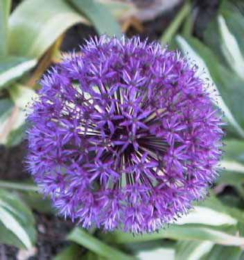 Allium Purple Sensation 2